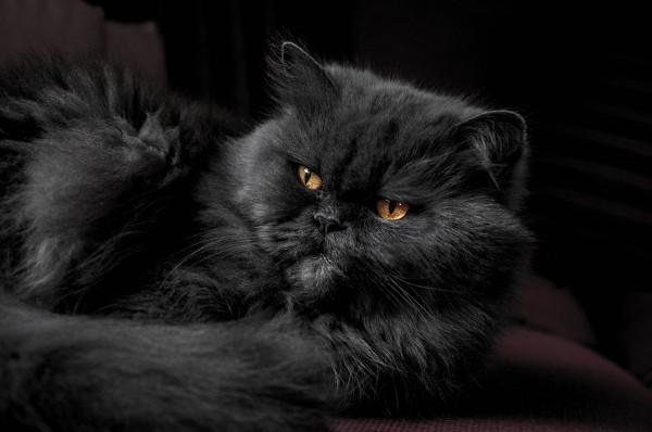 black-persian