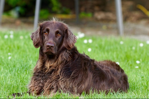 german-longhaired-pointer