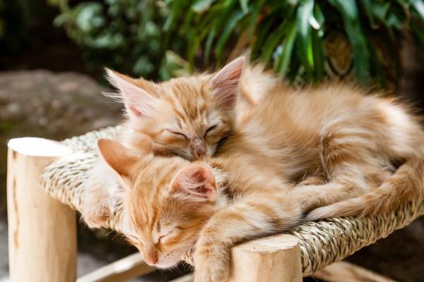 ginger-kittens