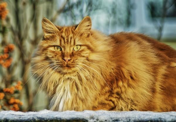magnificent-norwegian-forest-cat