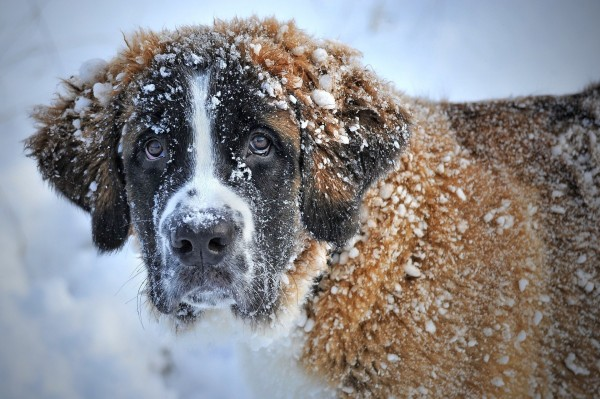 st-bernard-in-the-snow