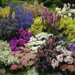 Hardy Perennial Plant Lucky Dip - a mix of 12 named plants specially selected from the nursery - £19.99